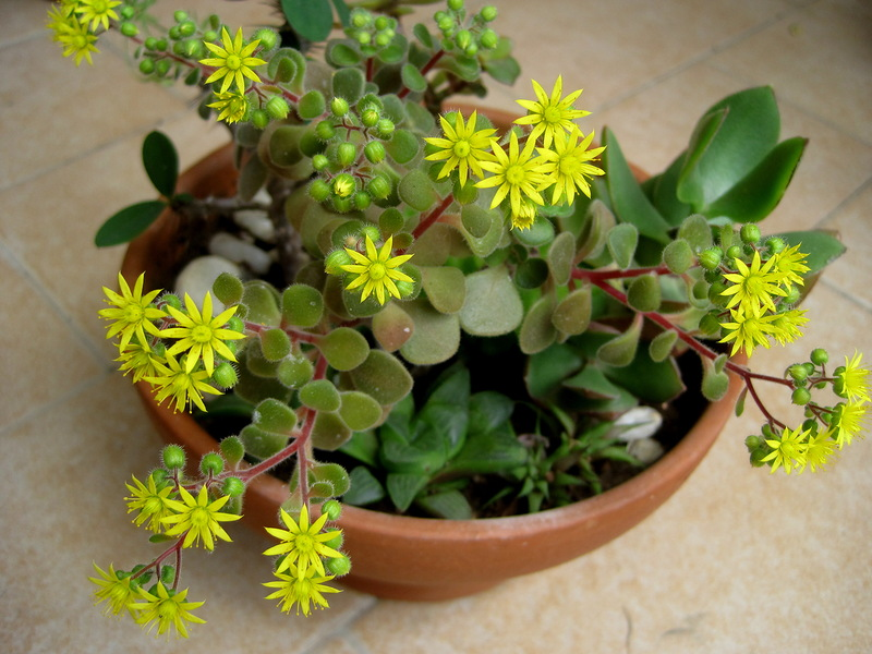 Аихризон цветок уход в домашних условиях