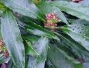 Аукуба гималайская (Aucuba himalaica)