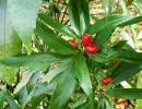 Аукуба японская (Aucuba japonica)
