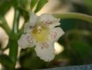 Альсобия пунктата (Alsobia Punctata)