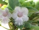 Альсобия сигнет (Alcobia Cygnet)
