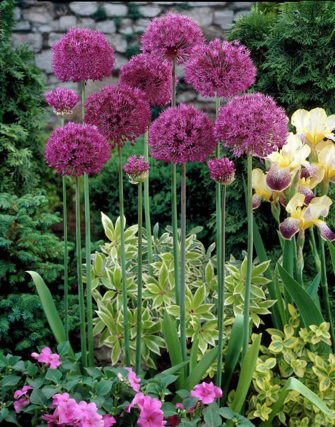 Луковичные цветы для сада названия фото