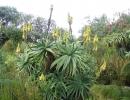 Aloe arborescens Mill (Алоэ древовидное)