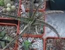 Aloe bellatula Reynolds (Алоэ красивенькое)