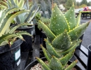 Aloe distans Haw. (синоним A. brevifolia Haw.) — Алоэ расставленное.