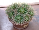 Aloe haworthioides Baker (Алоэ хавортиевидное)