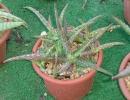 Aloe jacksonii Reyn (Алоэ Джексона)