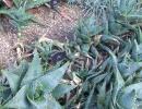 Aloe mitriformis Mill (Алоэ колпачковидное)