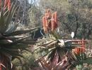 Aloe mutabilis Pillans – Алоэ изменчивый