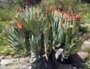 Aloe plicatilis (Веерное алоэ или складчатое)