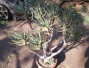 Aloe ramosissima (Алоэ сильноветвистое)