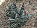 Aloe variegata (Пестрое алоэ)
