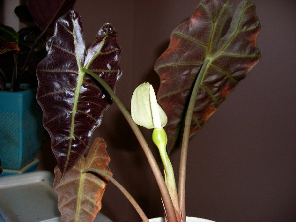 Лечебный цветок алоказия