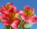 Цветущая альстромерия