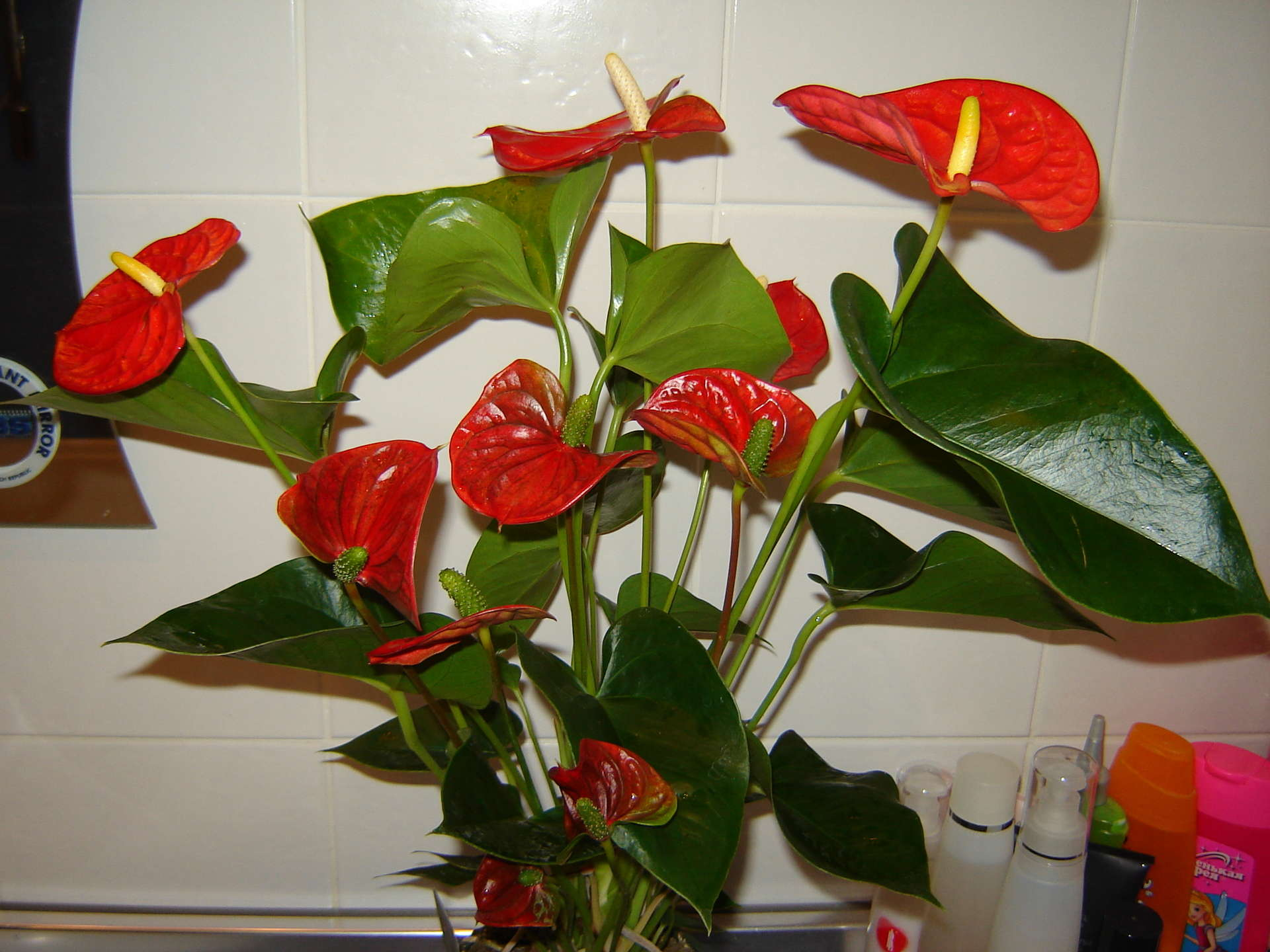 Цветок с красными каллами фото и название