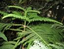 Араукария разнолистная (Норфолкская сосна, Комнатная ель)