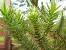 Араукария узколистная (Араукария бразильская)