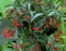 Ардизия городчатая (Ardizia crenata)