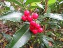 Ардизия японская (Ardisia japonica)