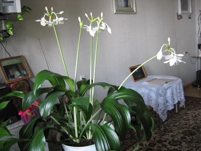 комнатный цветок аспидистра фото