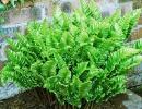 Асплениум сколопендровый (листовик сколопендровый)