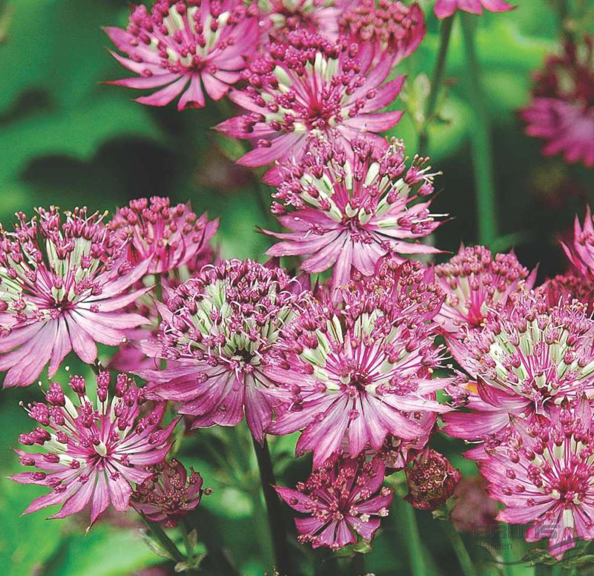 Цветы астранция фото и описание