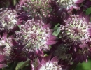 Цветок астранции многолетней