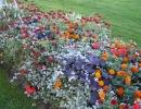 Астранция в цветнике