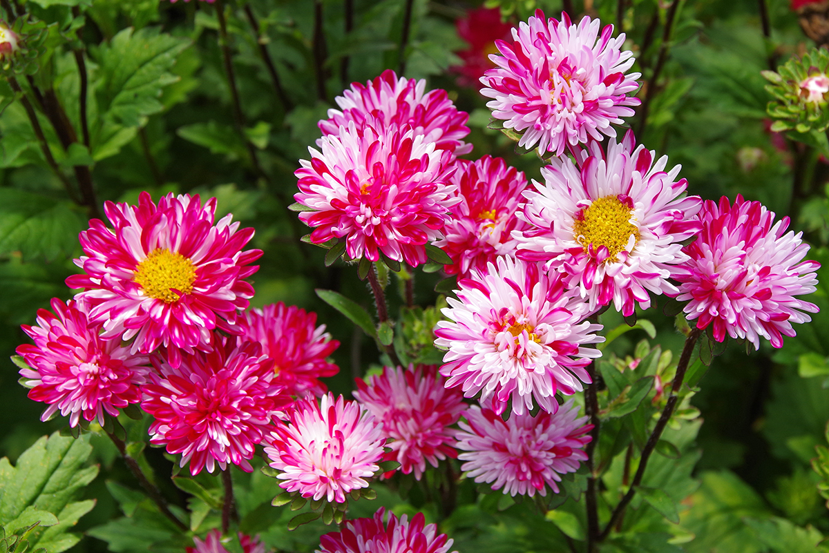 Цветы астра выращивание