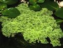Водное растение Азолла