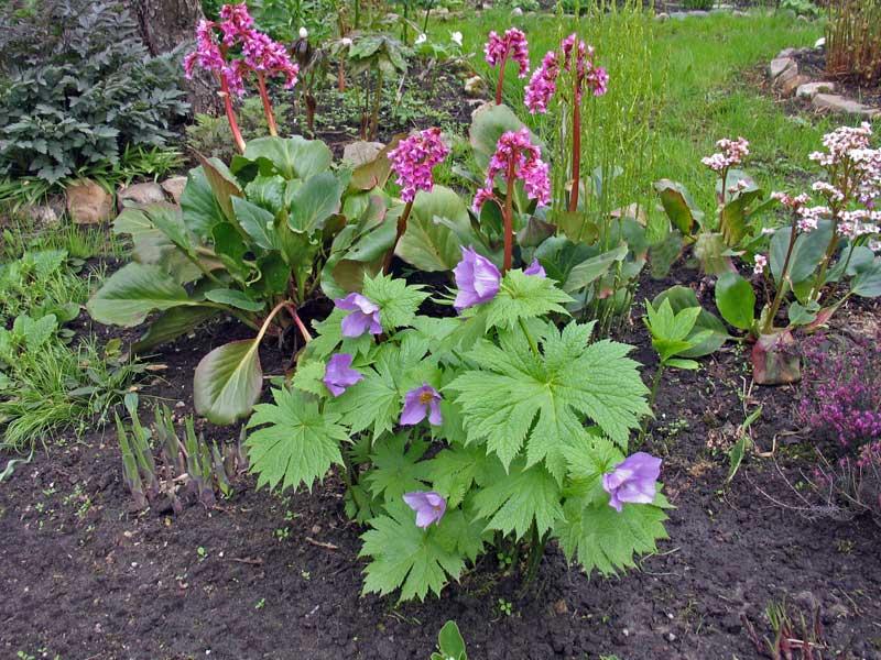 Цветы бадан фото описание