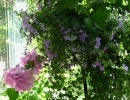 Бакопа в саду