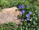 Барвинок в саду