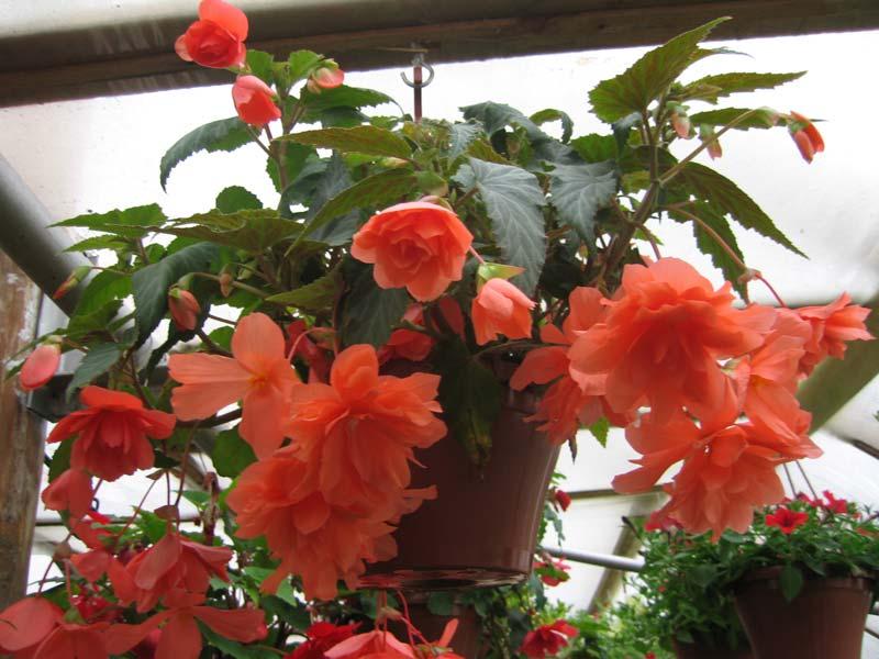 Комнатный цветок бегонии 66