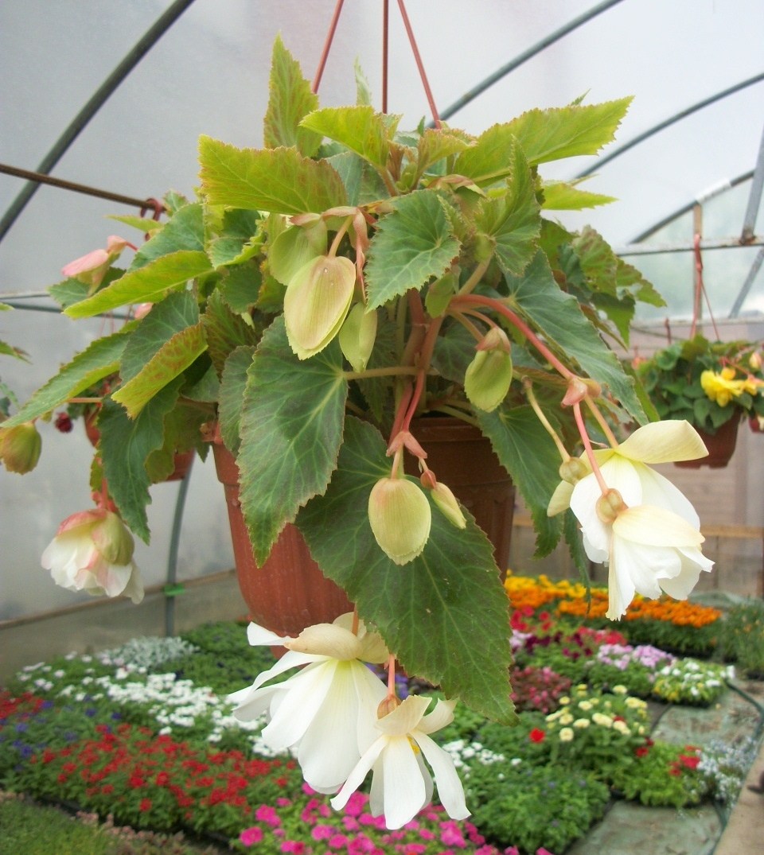 Комнатный цветок бегония: уход и размножение в домашних условиях с фото