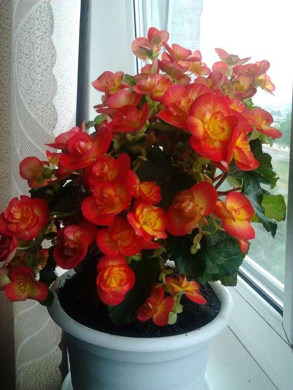 Комнатный цветок бегония, уход в домашних условиях