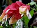 Цветущий белопероне