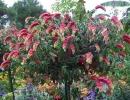 Белопероне в саду