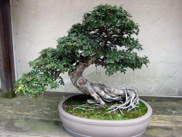 Большие деревья в домашних условиях 140
