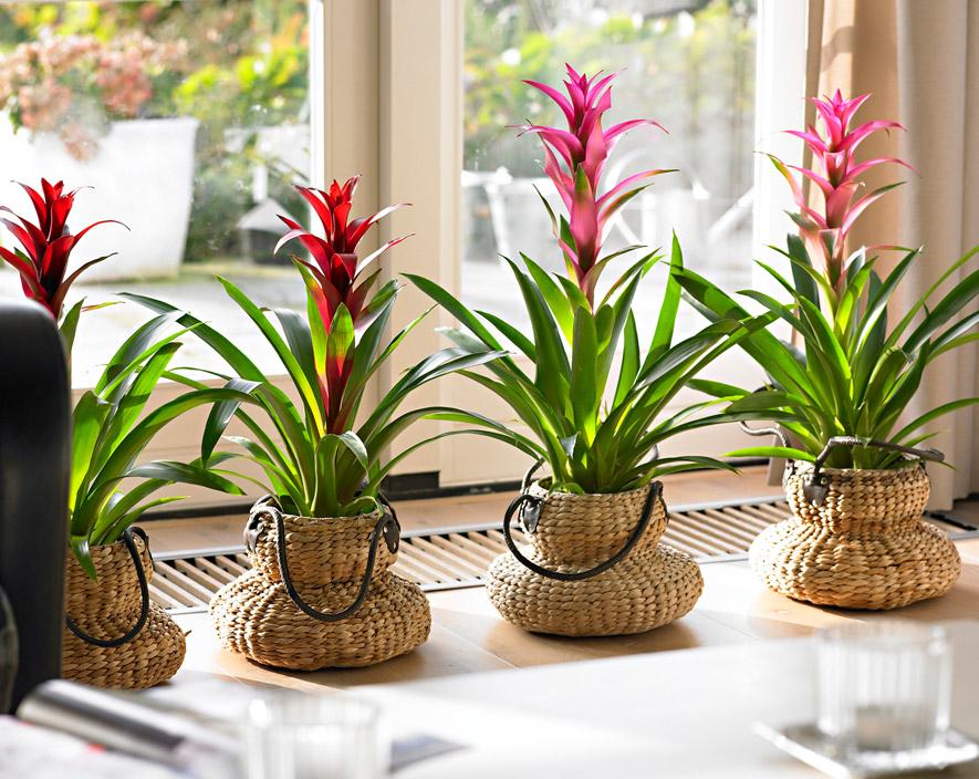 Комнатный цветок бромелия: уход в домашних условиях, фото