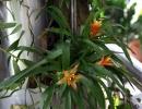 Бромелия фото цветка