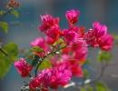 Бугенвиллия цветущяя