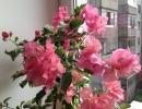 Бугенвиллия красавица