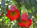 Кровавая (Brugmansiasanguinea)