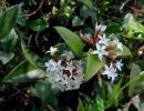 Карисса двушипая (Carissabispinosa)