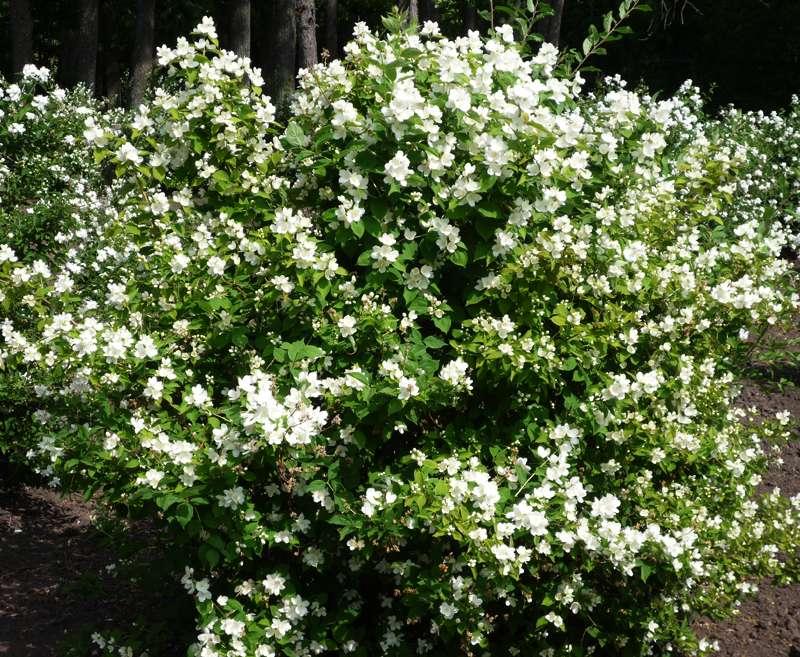 Виды жасмина садового