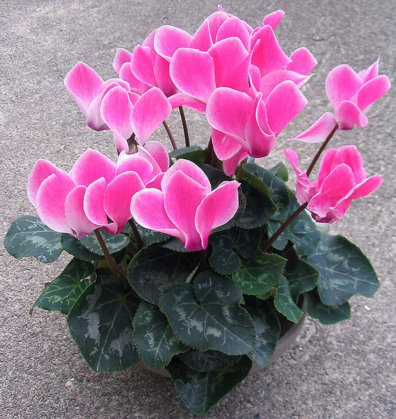 Домашний цветок цикламен как ухаживать