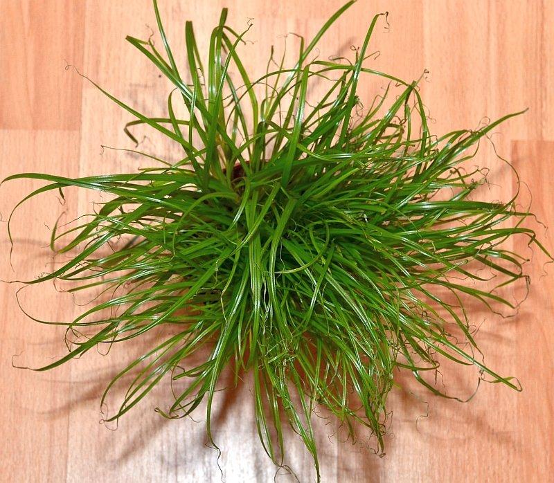 комнатное растение циперус