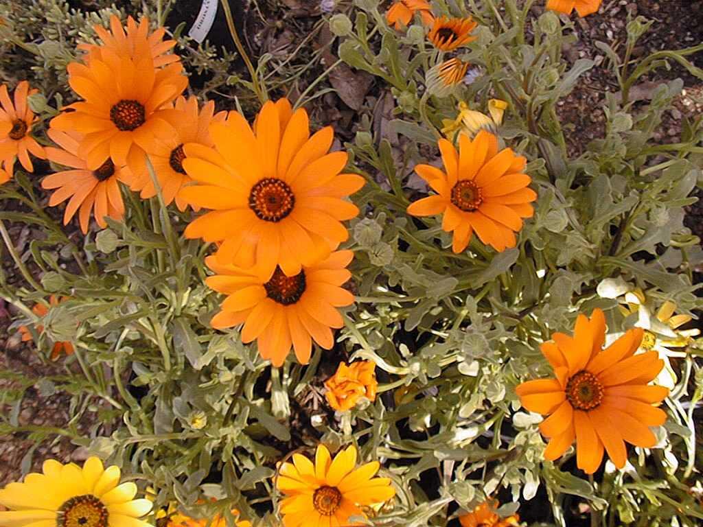 Садовые цветы: розы, тюльпаны 79