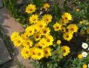 Цветок диморфотека